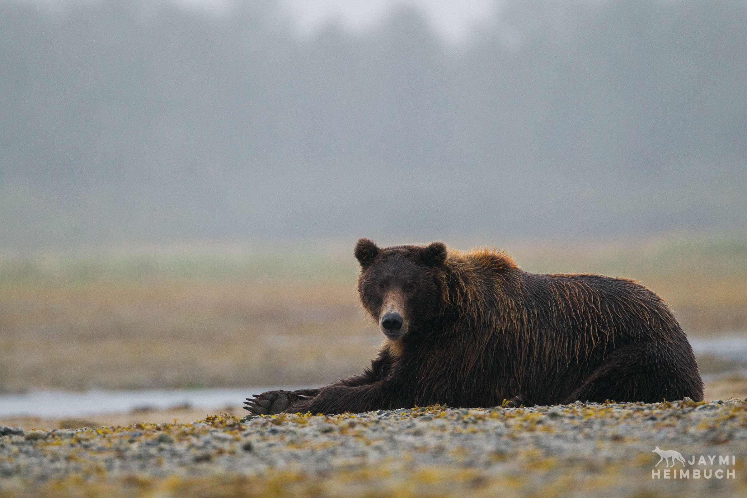 A coastal brown bear lays near a stream, looking directly at the camera.