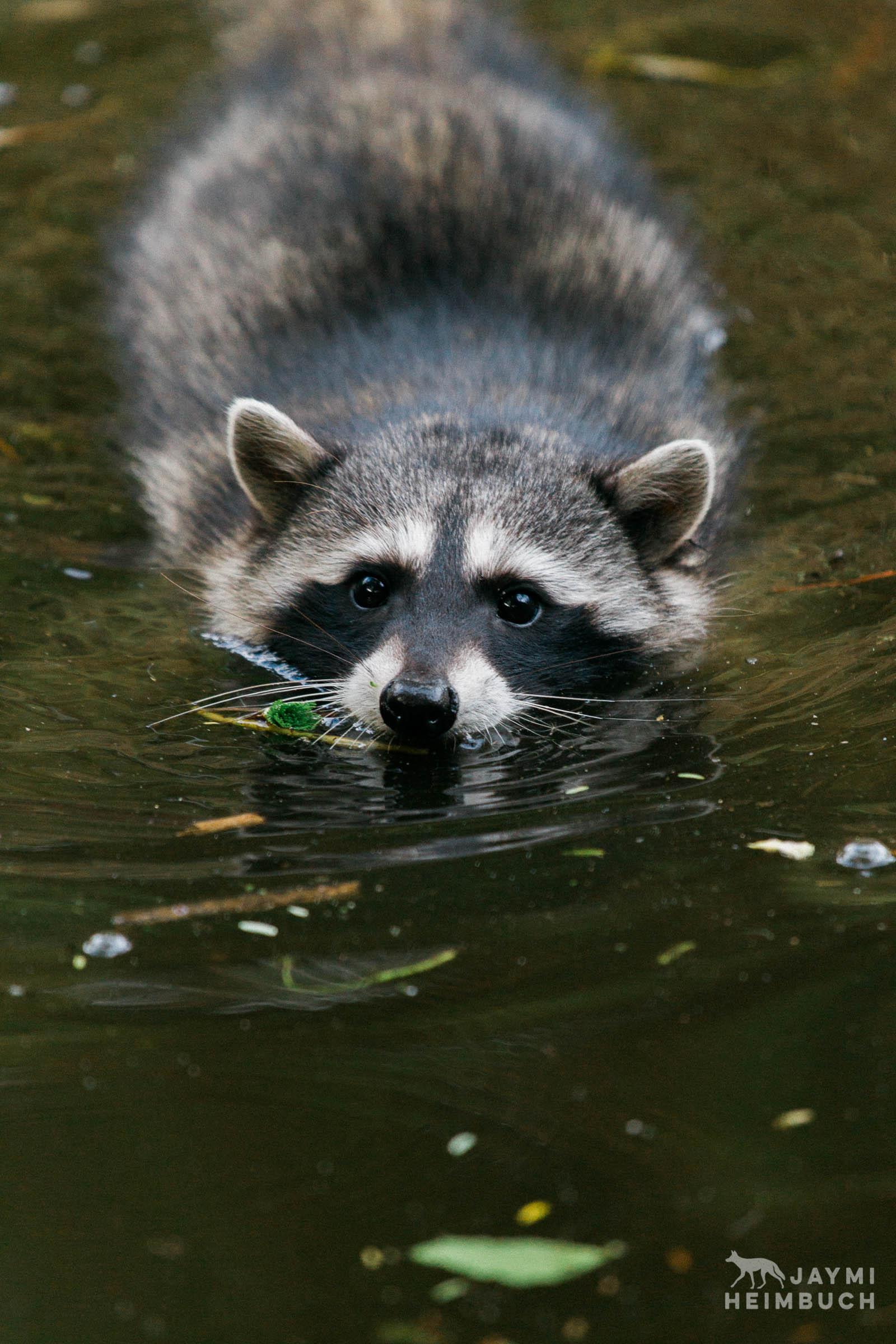 raccoon swimming