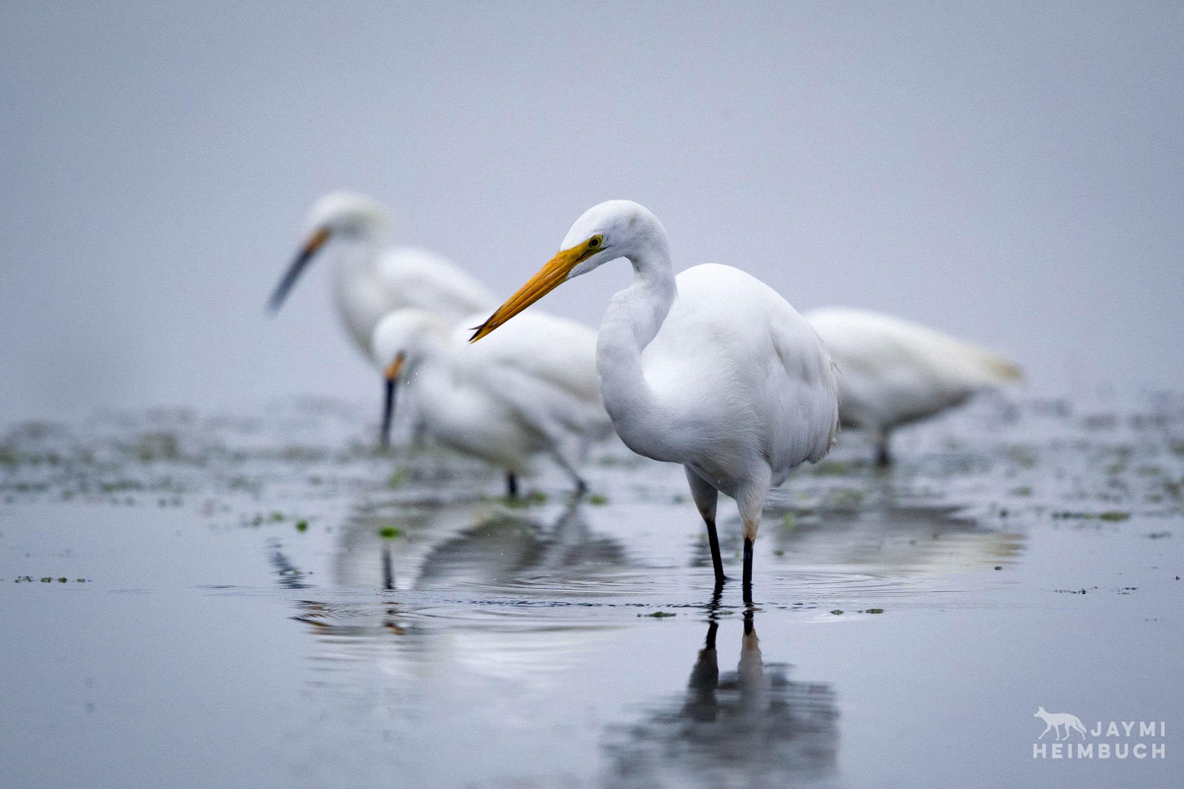 white egret and snowy egrets