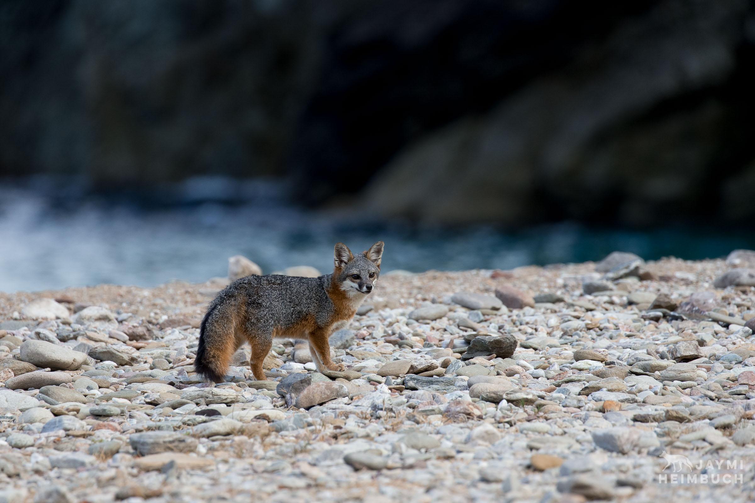 channel-island-gray-fox-research-jaymi-heimbuch-_JHX8360-02