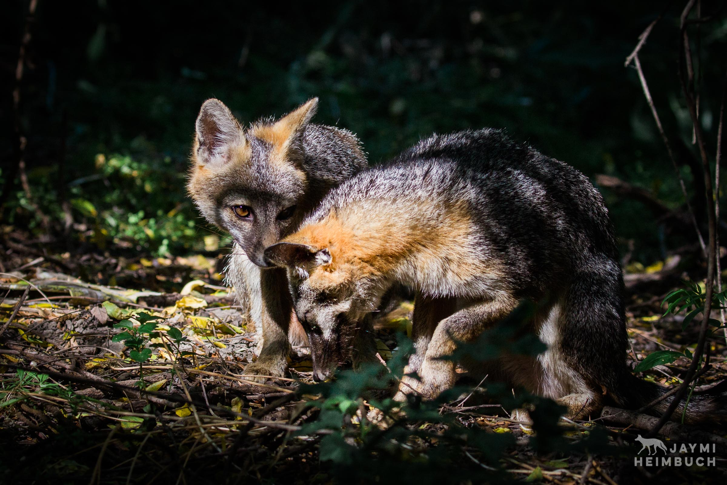 gray-fox-jaymi-heimbuch-_JH_0581-14