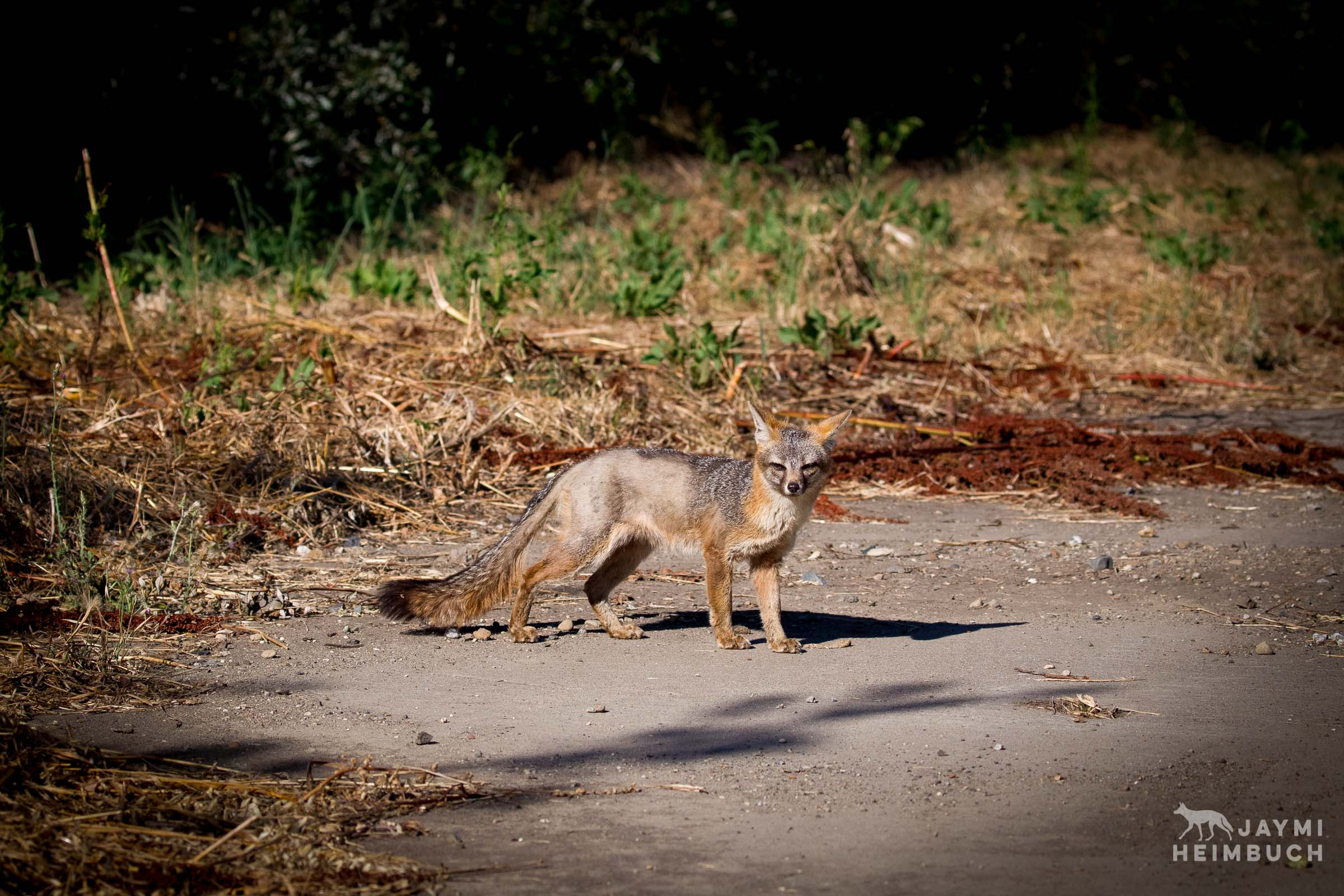 gray-fox-jaymi-heimbuch-_JH_0636-15