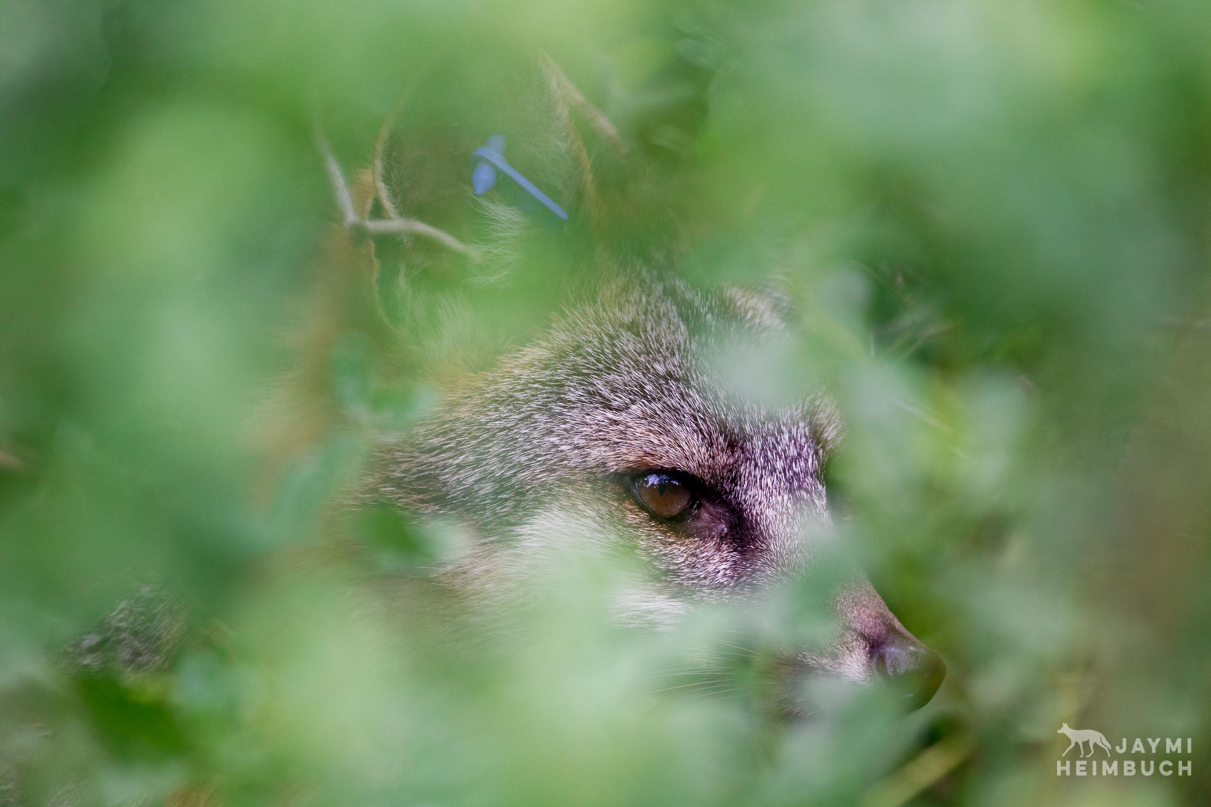 Gray fox (Urocyon cinereoargenteus) male hiding in green brush, Palo Alto, California