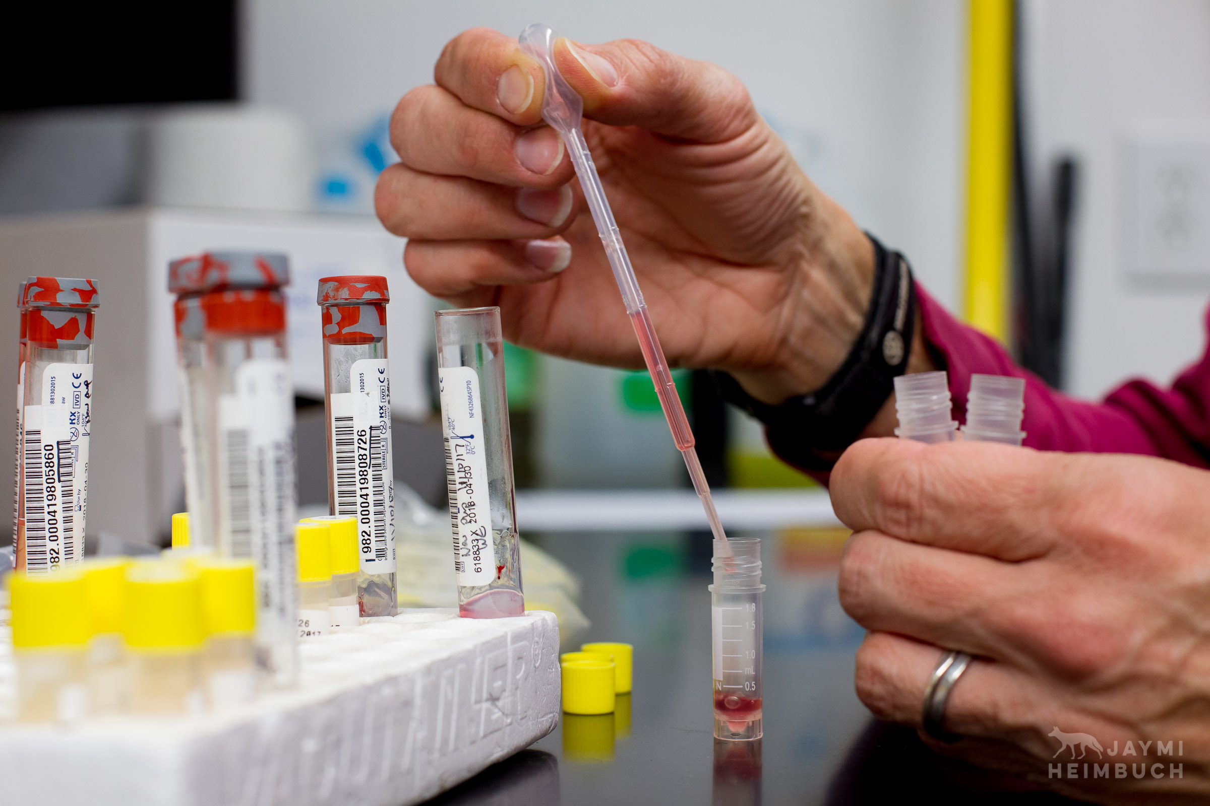 Blood samples from a wild Channel Island Fox, Urocyon littoralis catalinae, are procedded by researcher Julie King, Santa Catalina Island,  California, United States