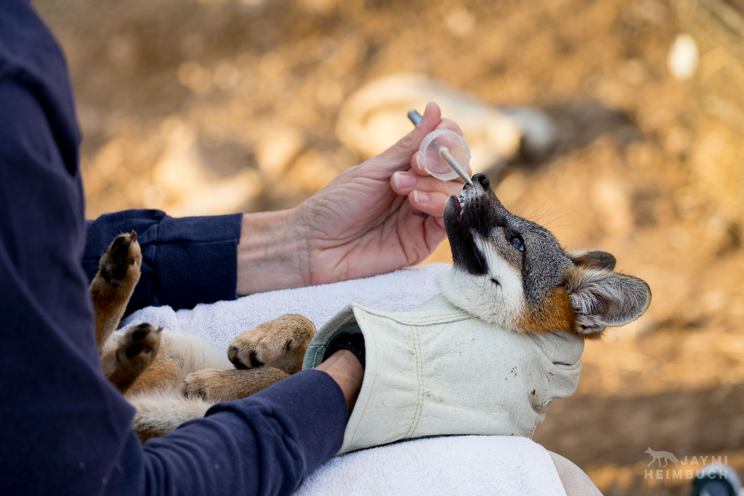 Channel Island Fox, Urocyon littoralis catalinae, being examined by researcher Julie King, Santa Catalina Island,  California, United States