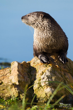 River otter ecology project research