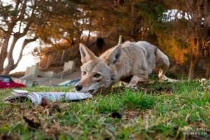 Coyote (canis latrans) adult female