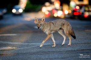 urban coyote in city street
