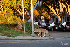 Coyote (canis latrans) adult female with neighborhood man, San Francisco, California