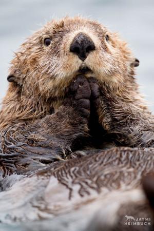 Northern sea otter (Enhydra lutris kenyoni) juvenile, Katmai, Alaska