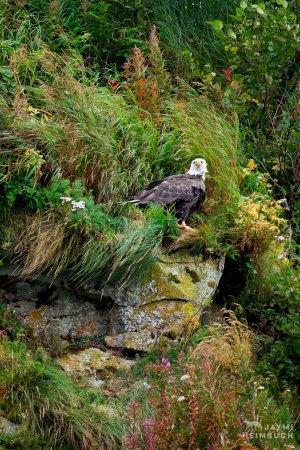 Bald Eagle adult, Katmai Alaska
