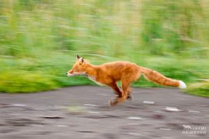 North America, USA, Alaska, Katmai. A red fox runs along the edge of a grassy field.