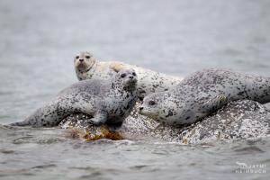 Harbor seals, Katmai Alaska