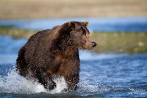 Coastal brown bear (Ursus arctos) adult male chasing salmon, Katmai, Alaska