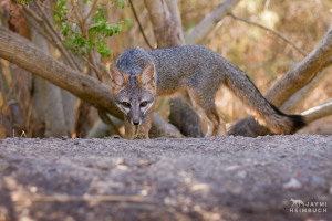 Gray fox (Urocyon cinereoargenteus) female on path, Palo Alto, California