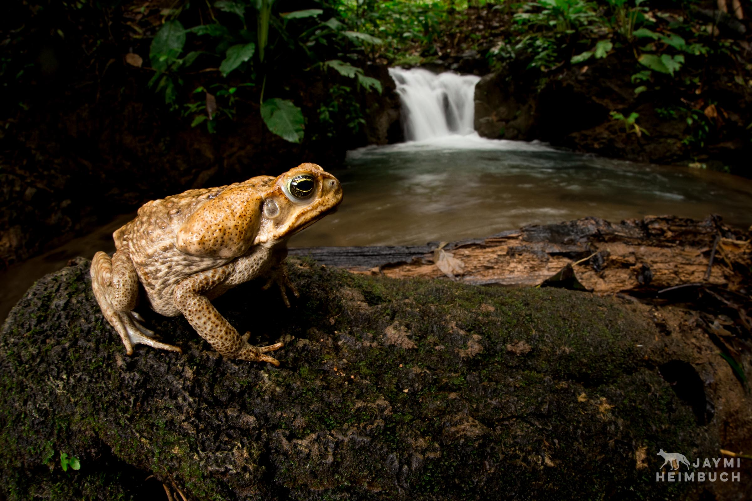 An adult marine toad (Rhinella marina) rests on a river rock in