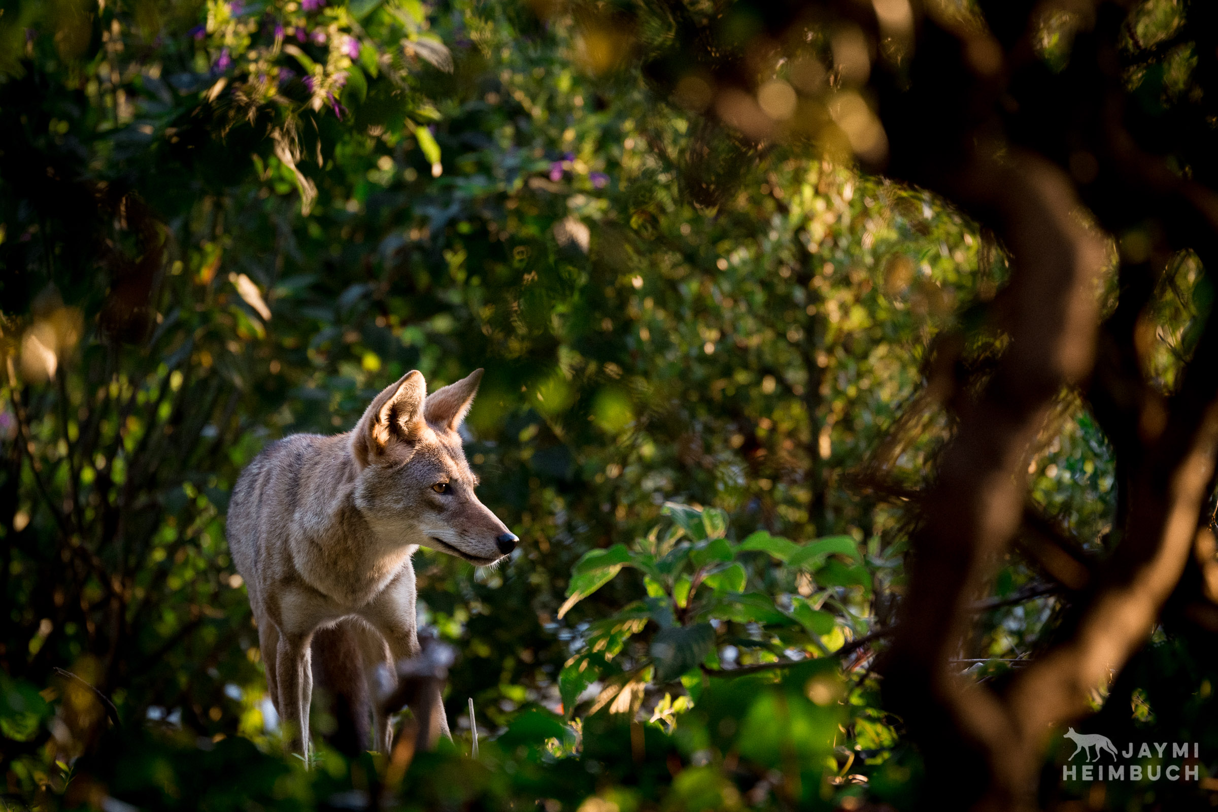 Urban coyote in brush