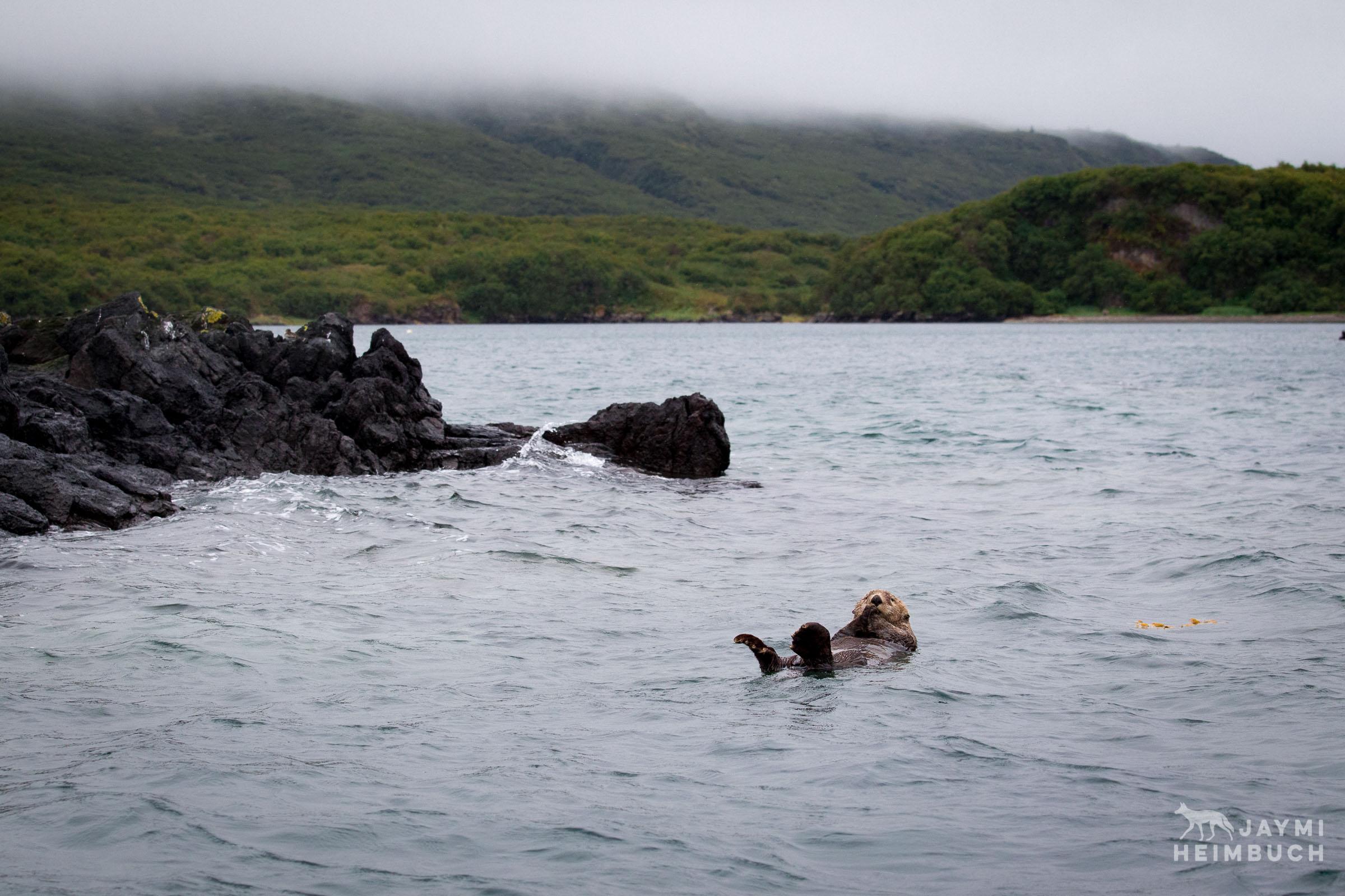 sea otter floating in a bay in katmai alaska