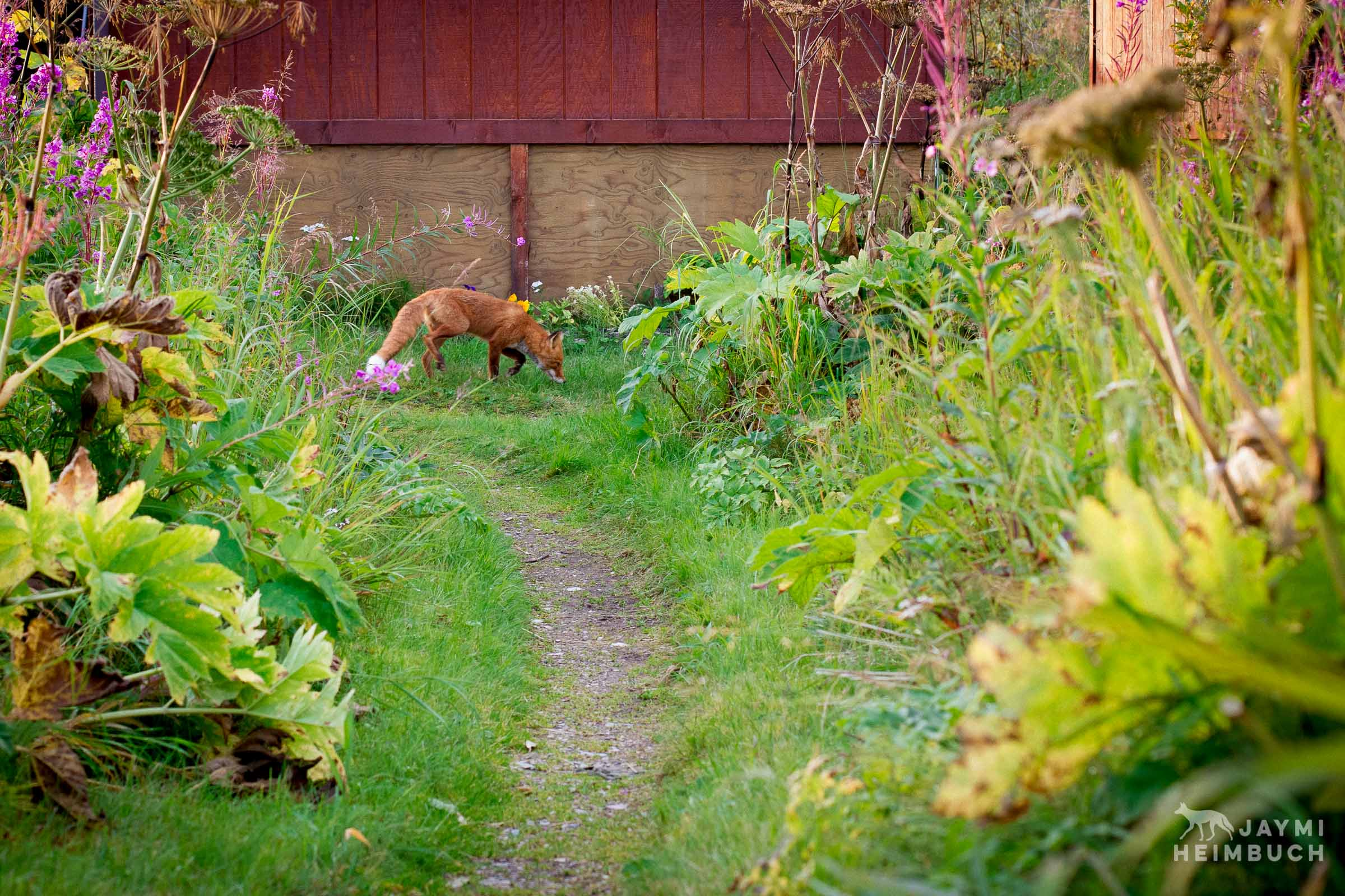 red fox in yard