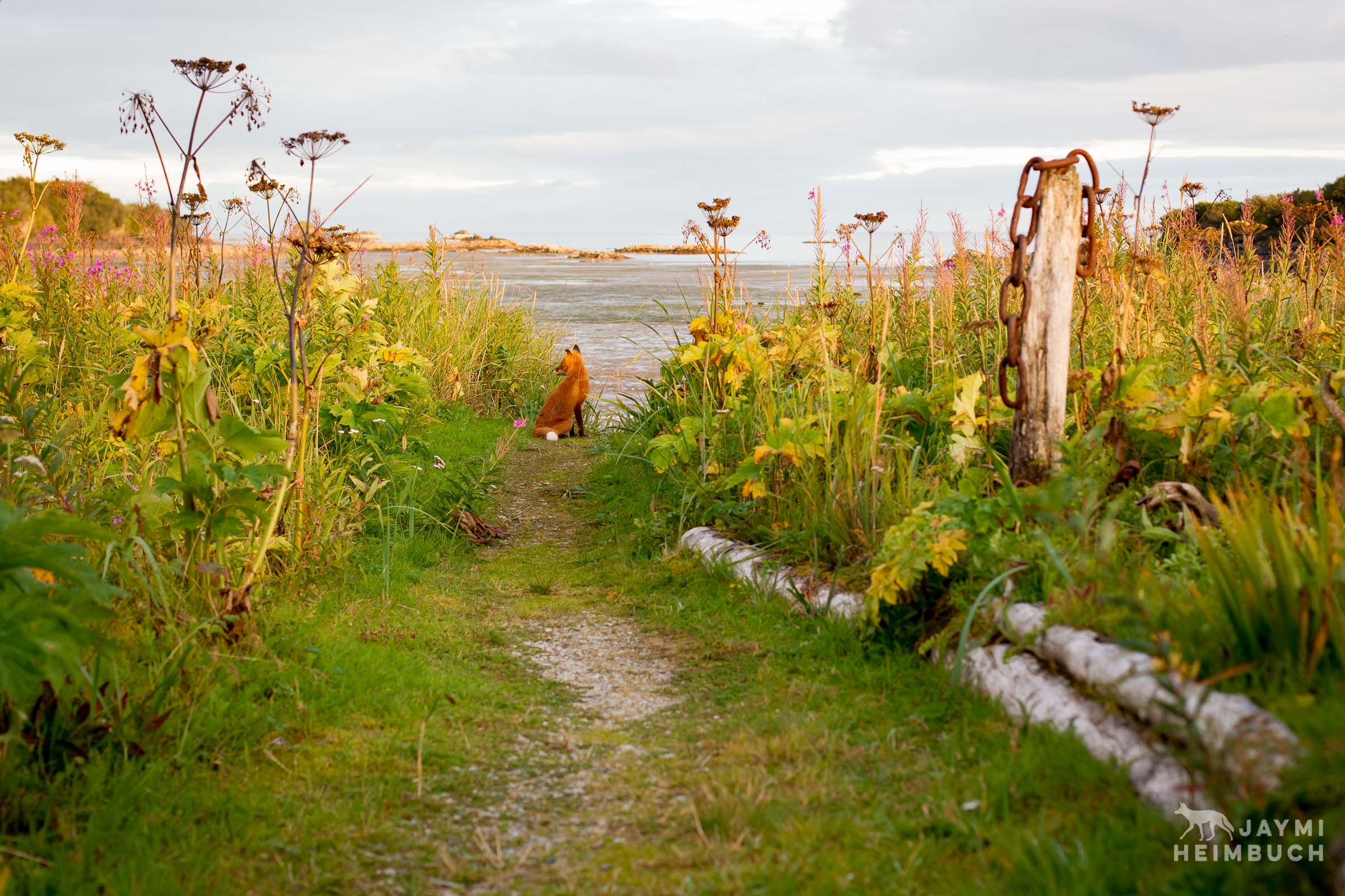A red fox sits on a garden path and enjoys the view of the bay at sunset.