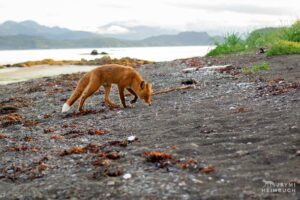 red fox on shore