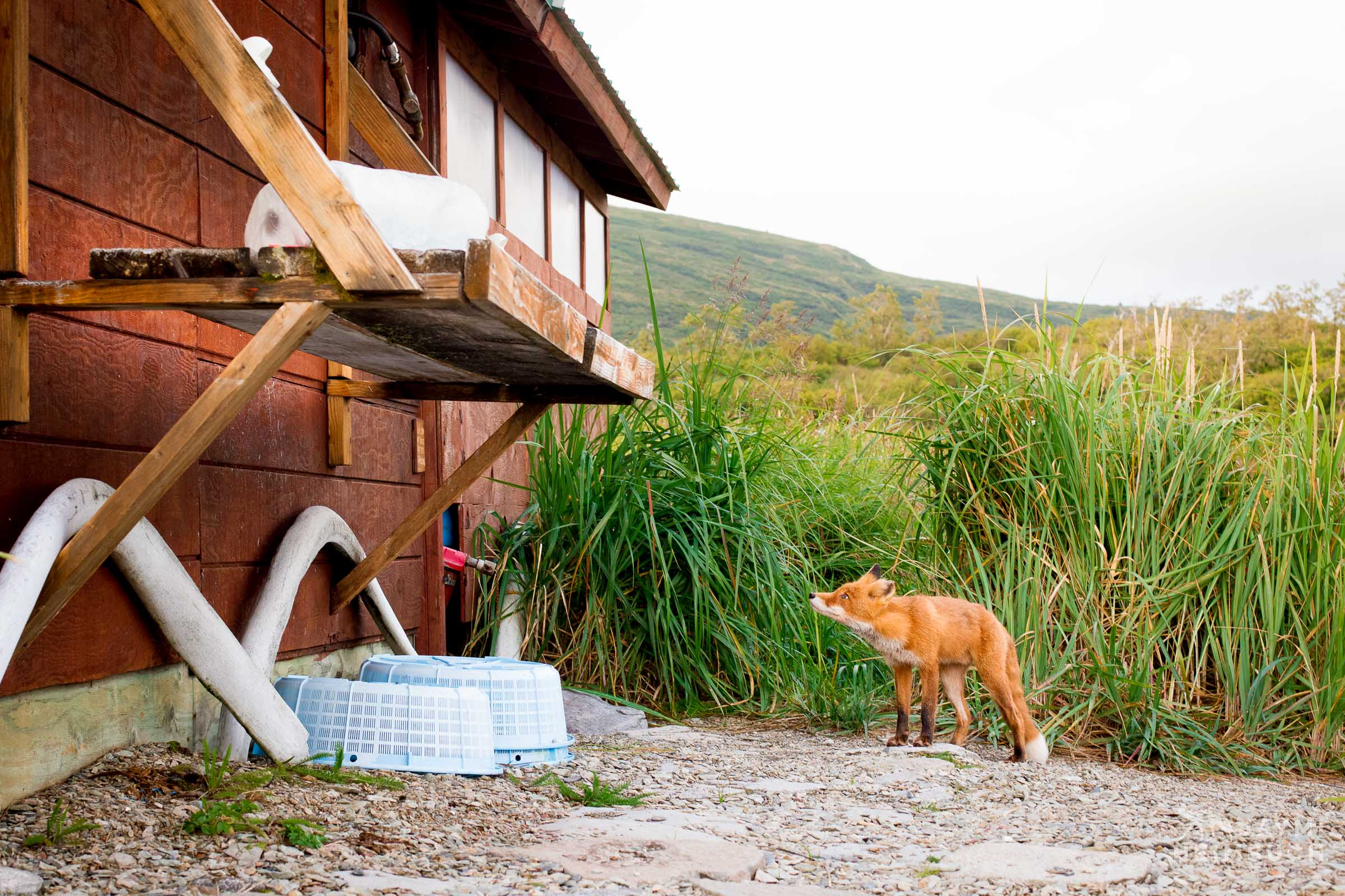 Red Fox at cabin