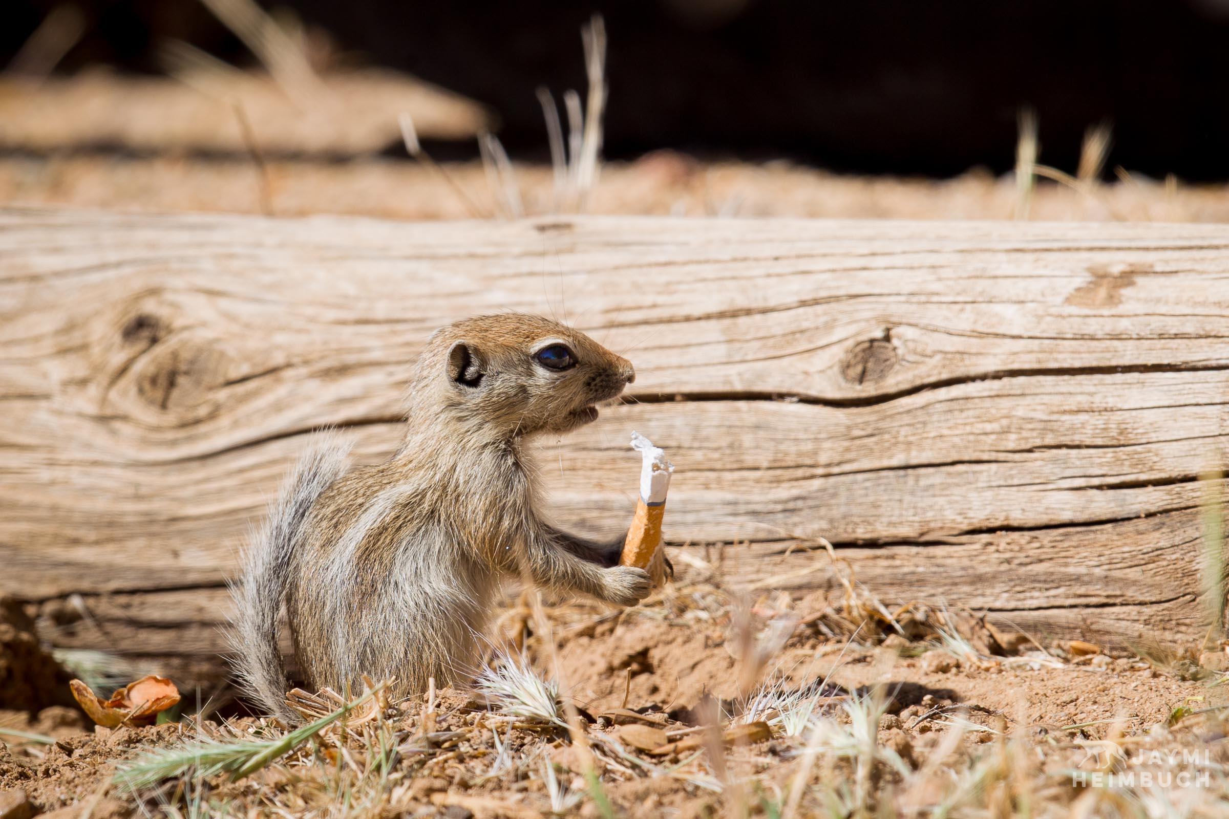 San Juaquin antelope squirrel with cigarette