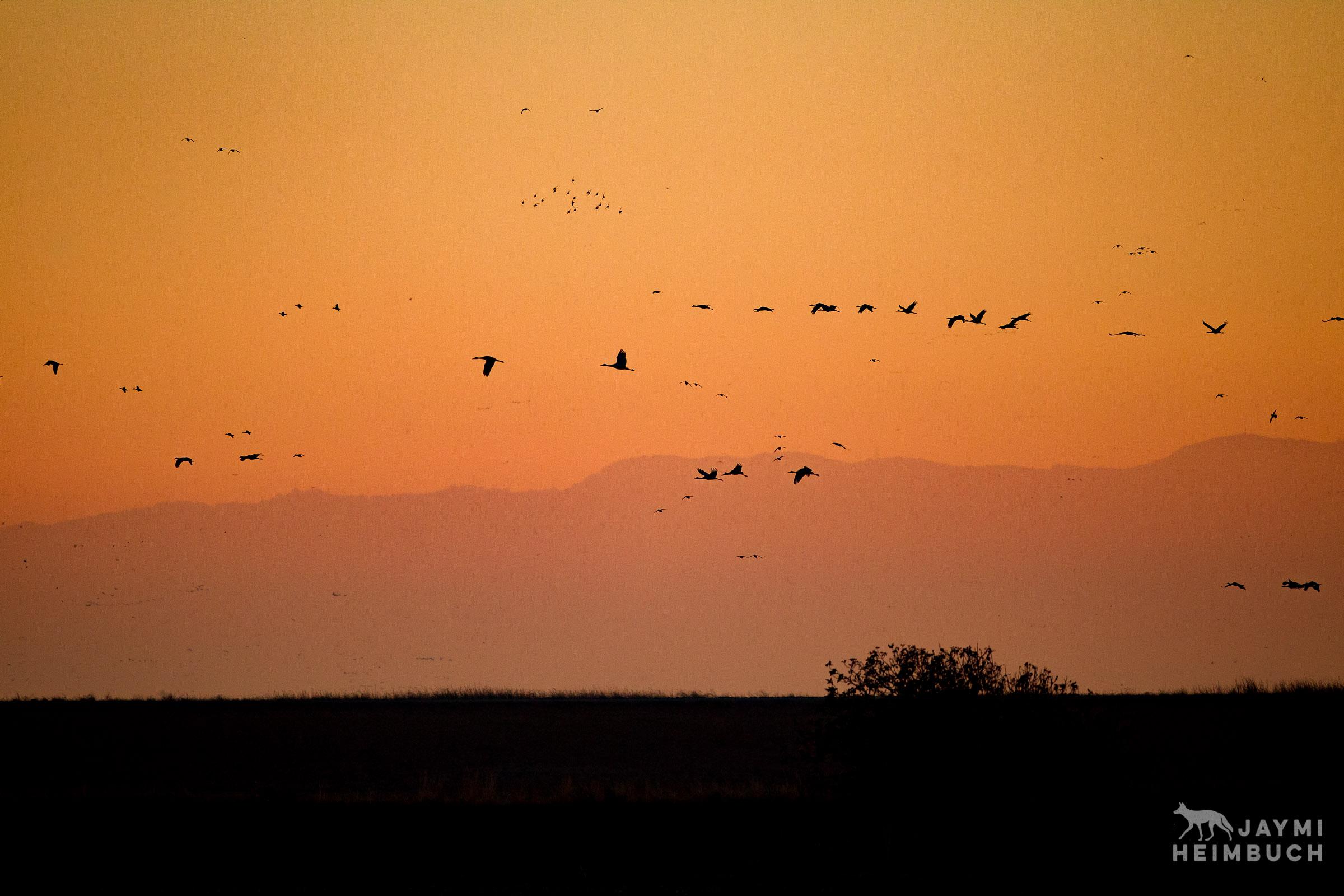 migrating birds pacific flyway