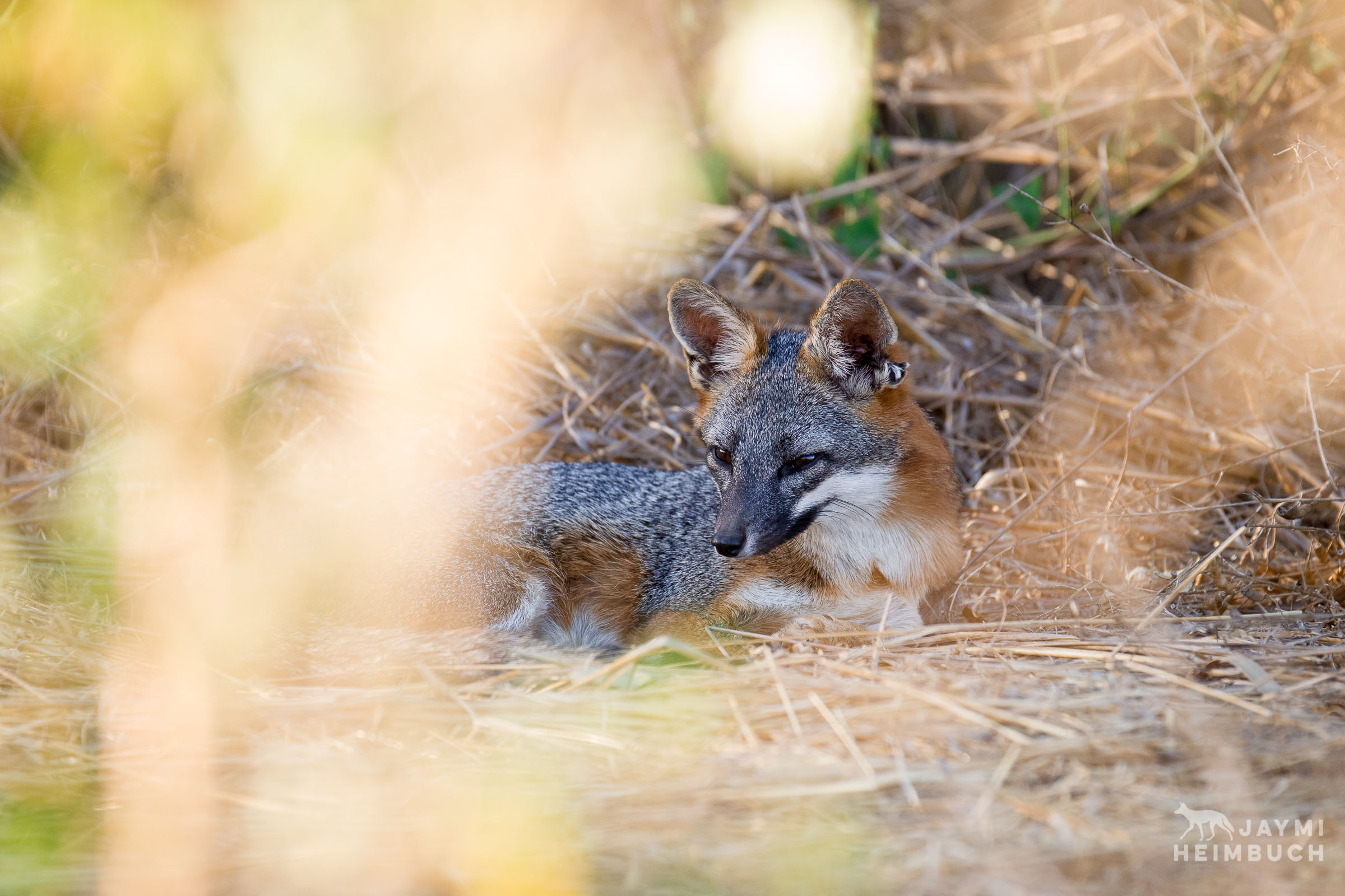 gray fox in bushes