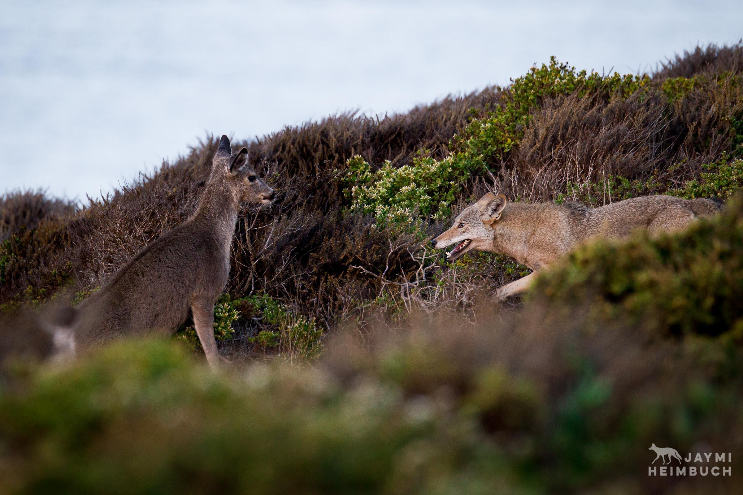 Coyote (canis latrans) adult female hunting yearling mule deer, Marin Headlands, California
