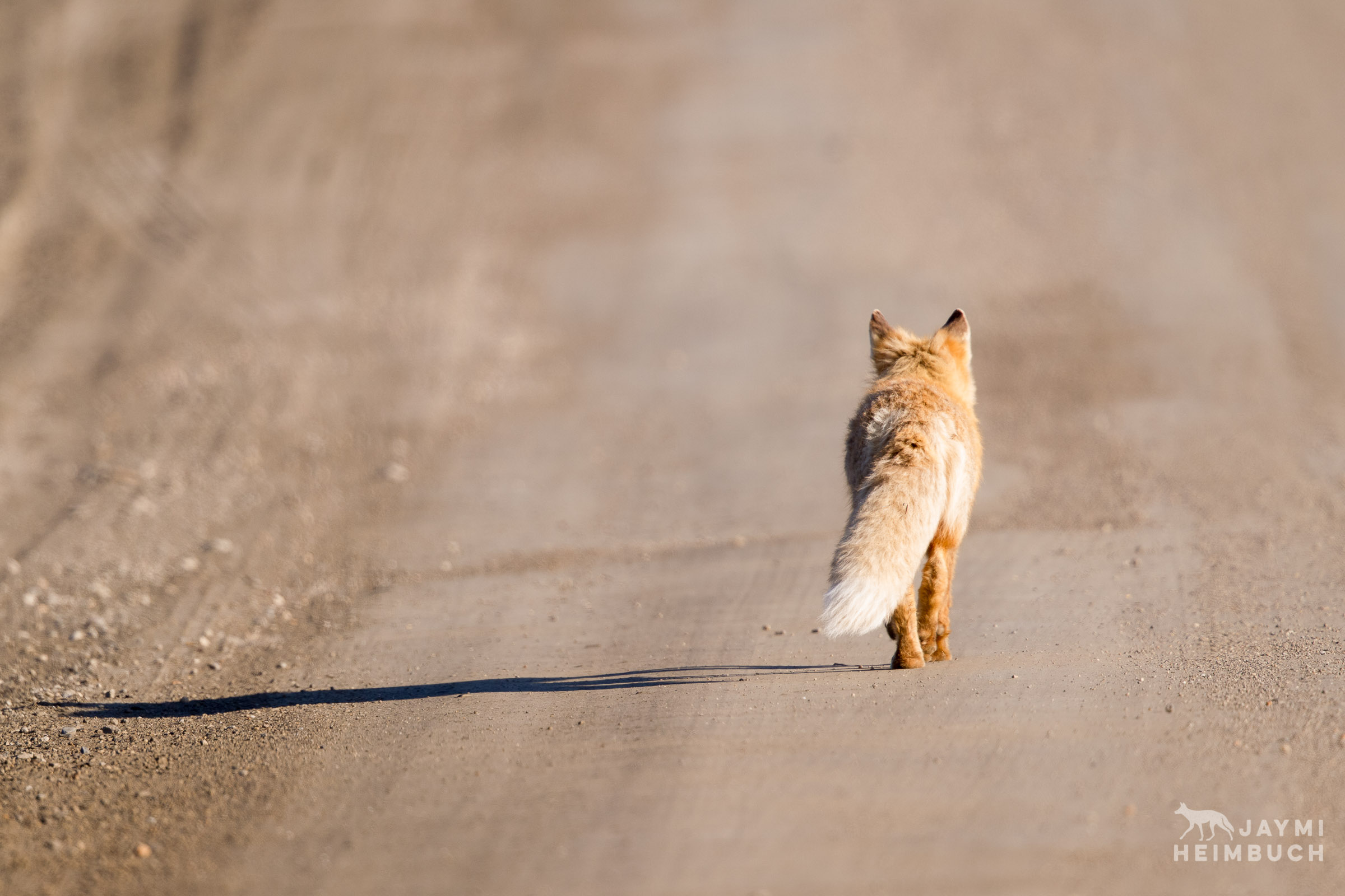 red fox on road