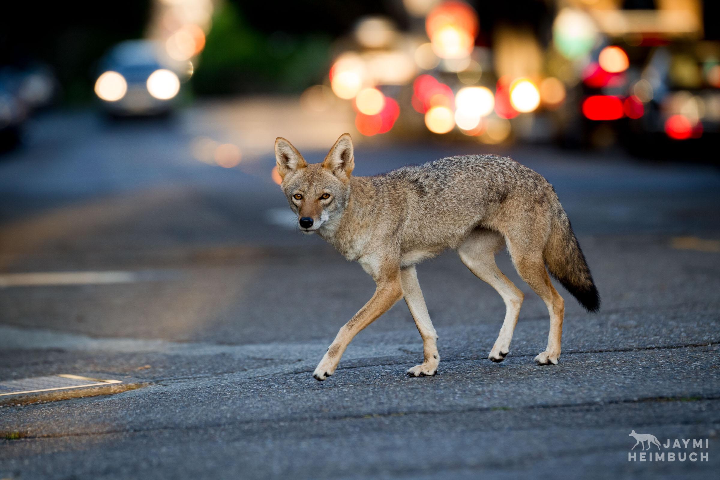 Urban coyote on city street, san francisco, california