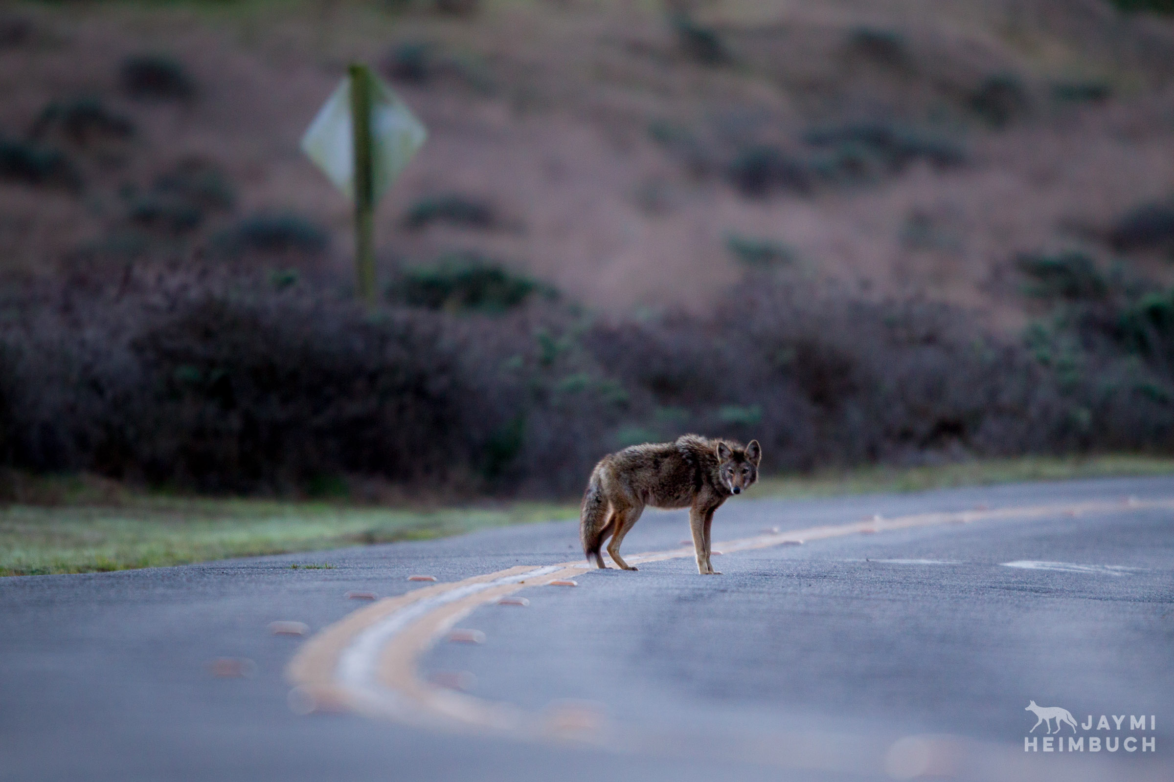 coyote in road