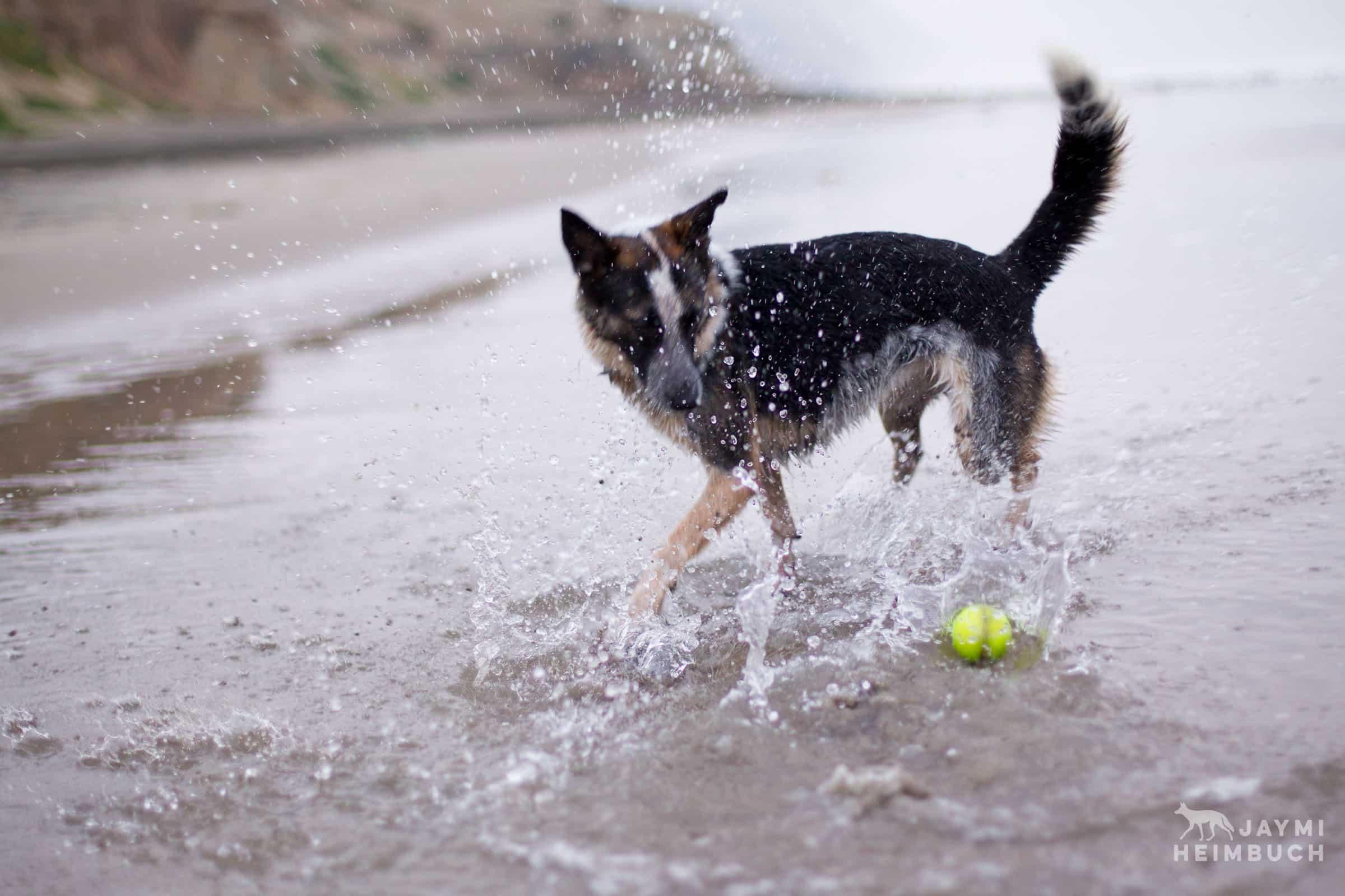 dog playing at beach