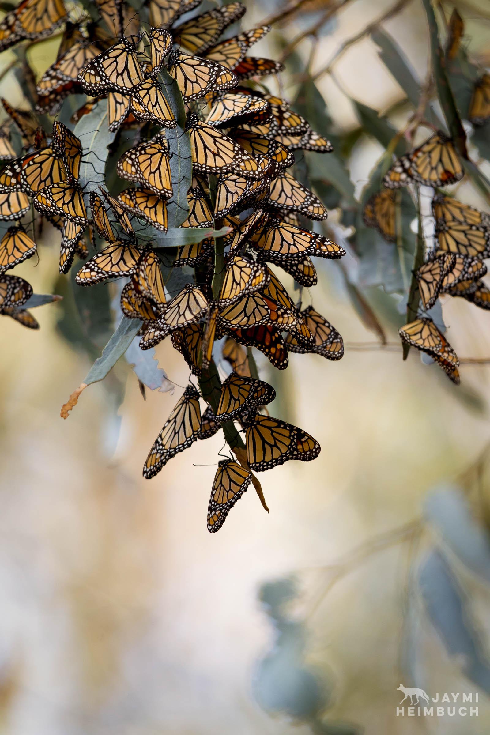 monarch butterflies, pismo beach, california