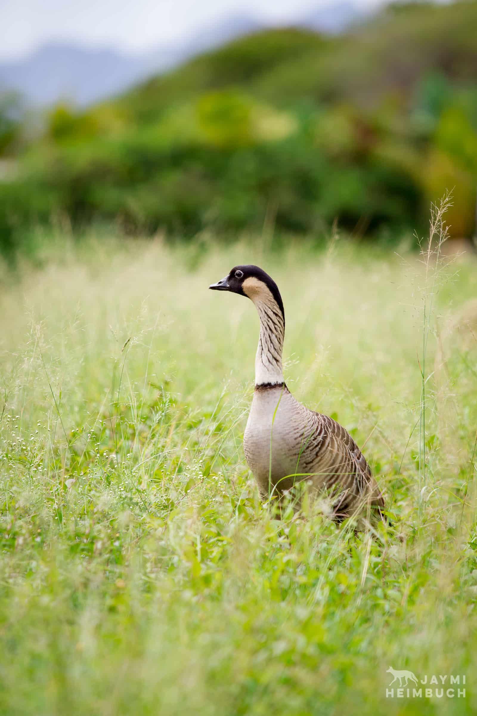 Nene goose, Kauai, Hawaii