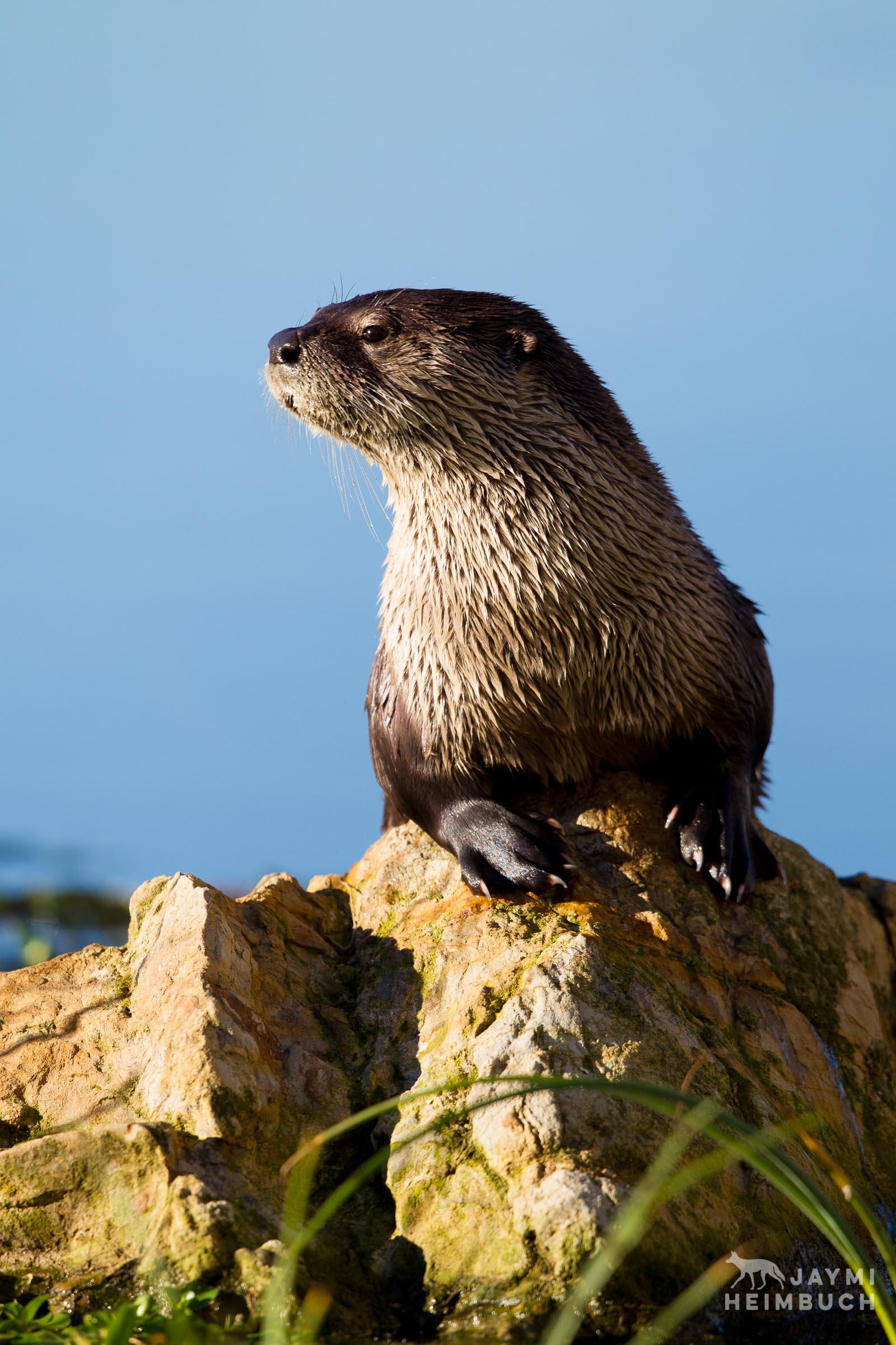 Wild North American River Otter, San Francisco Bay Area