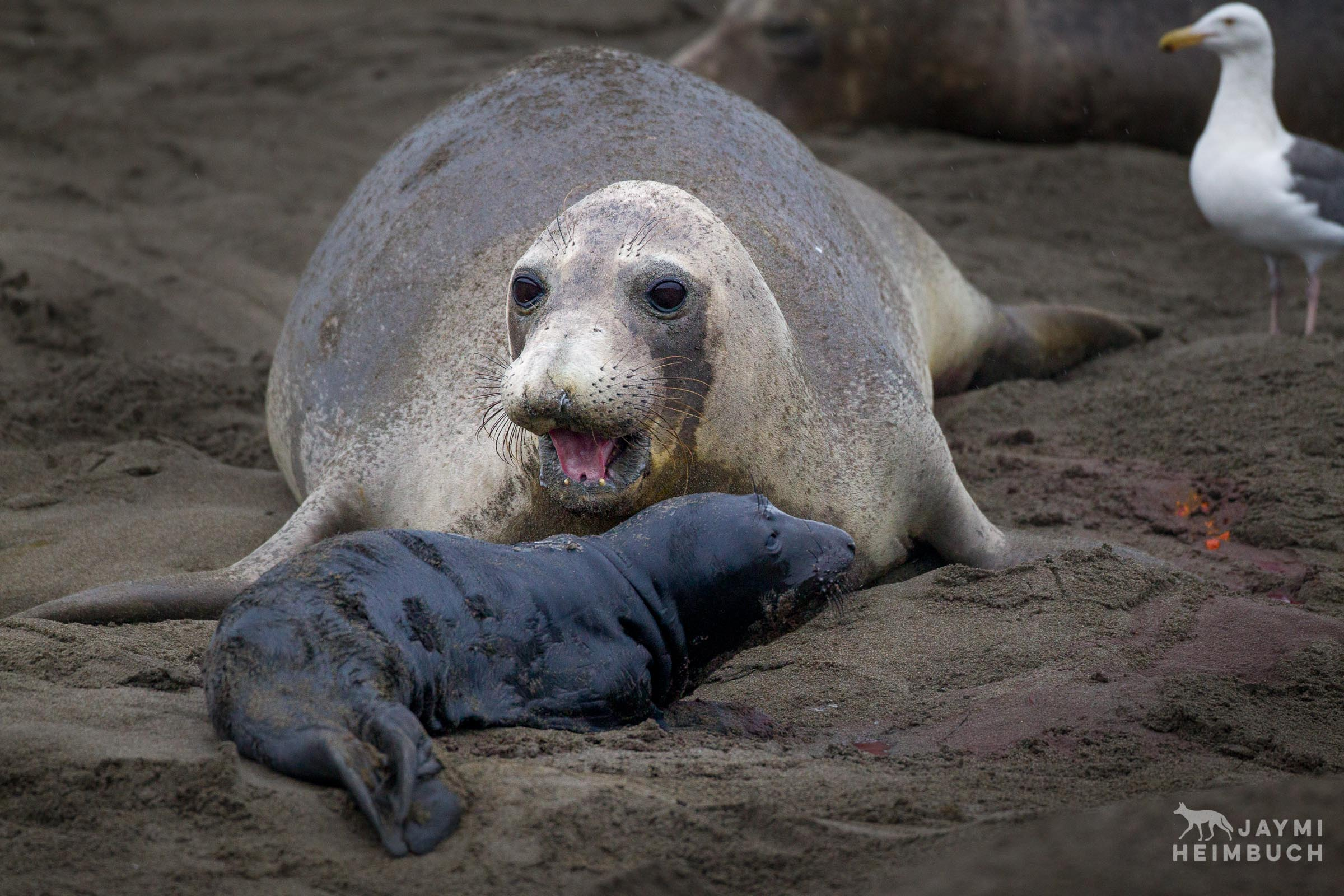 northern elephant seal cow with newborn pup
