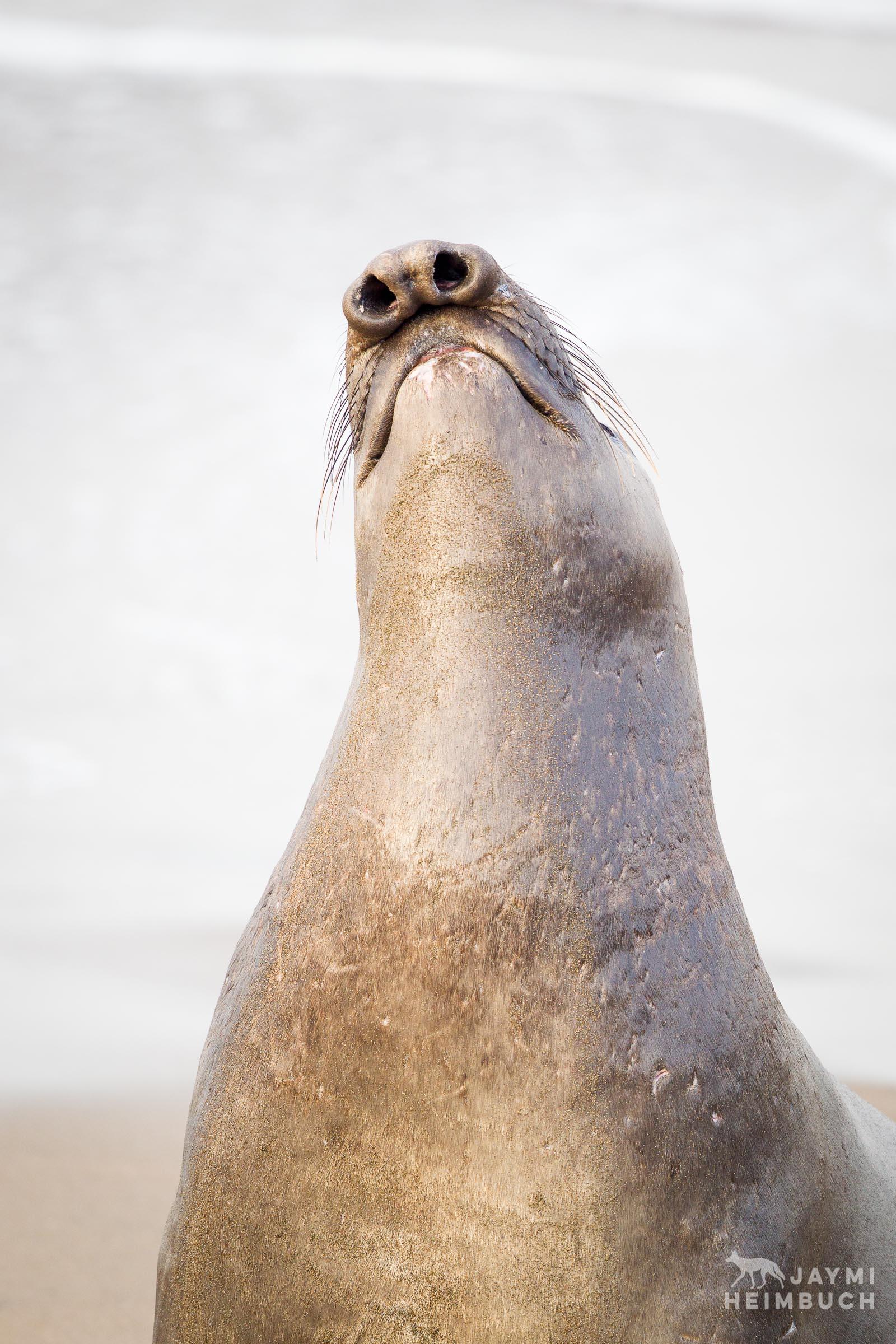 northern elephant seals, piedras blancas, california