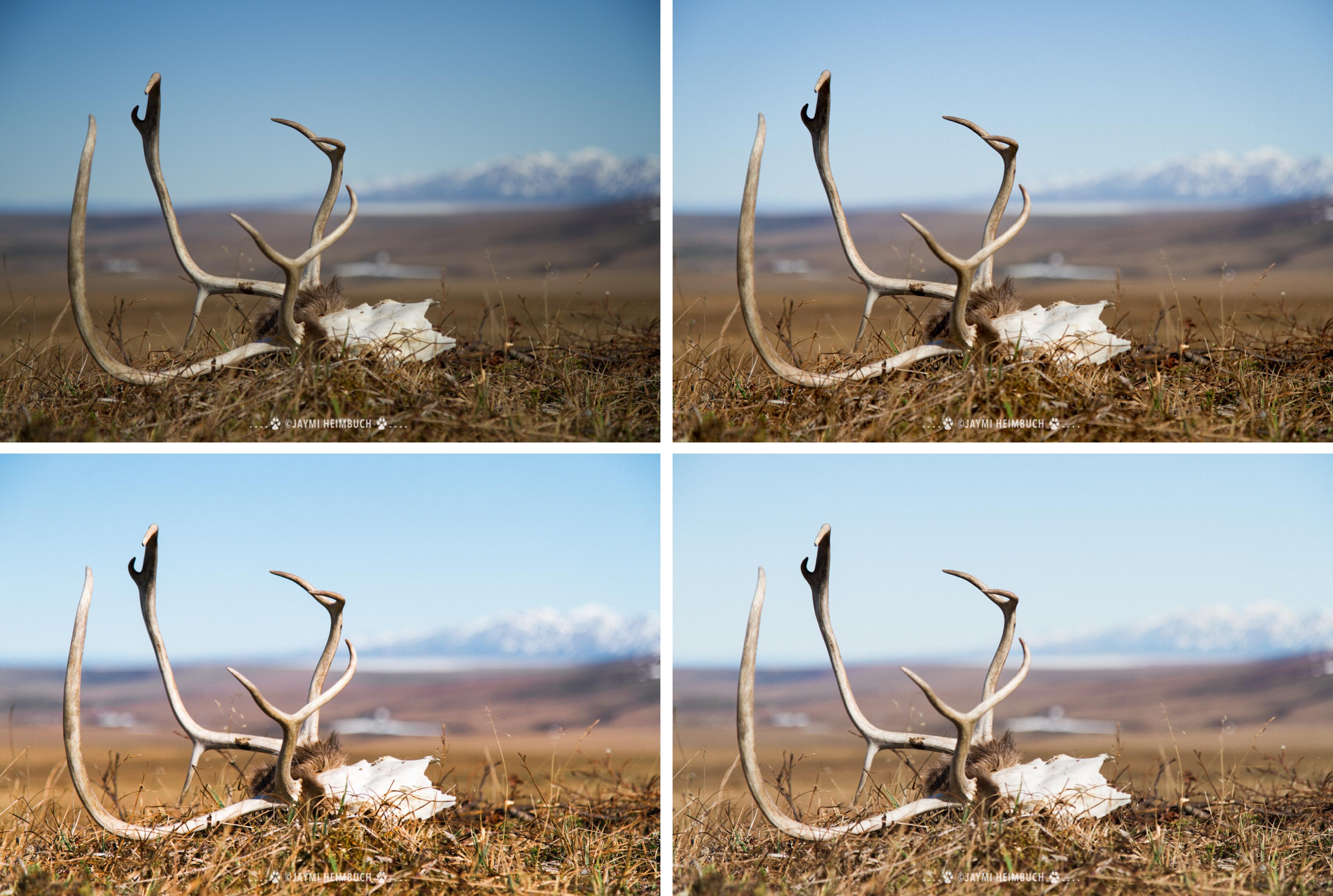 caribou skulls