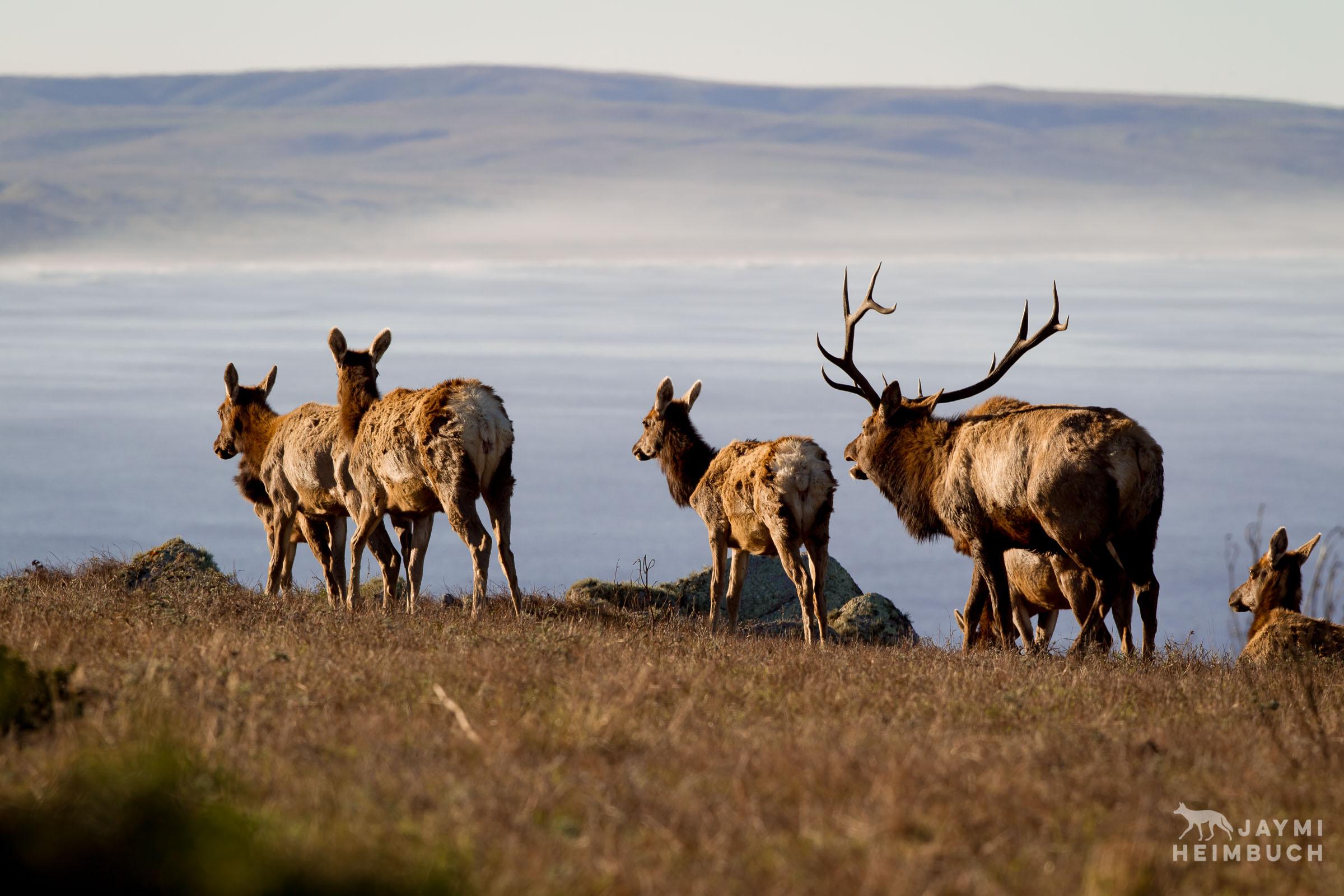 Tule elk herd, Point Reyes National Seashore