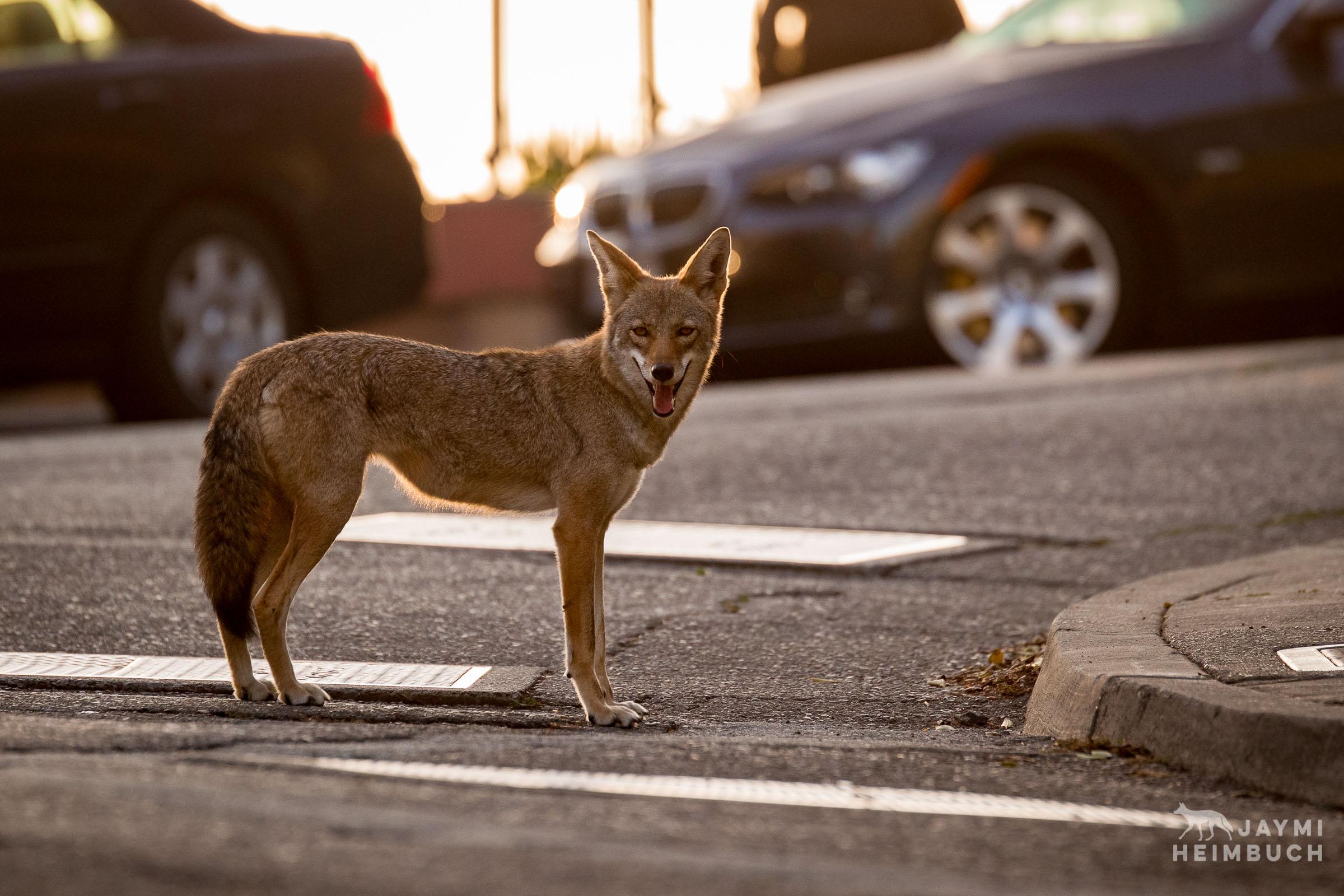 Urban coyote, san francisco