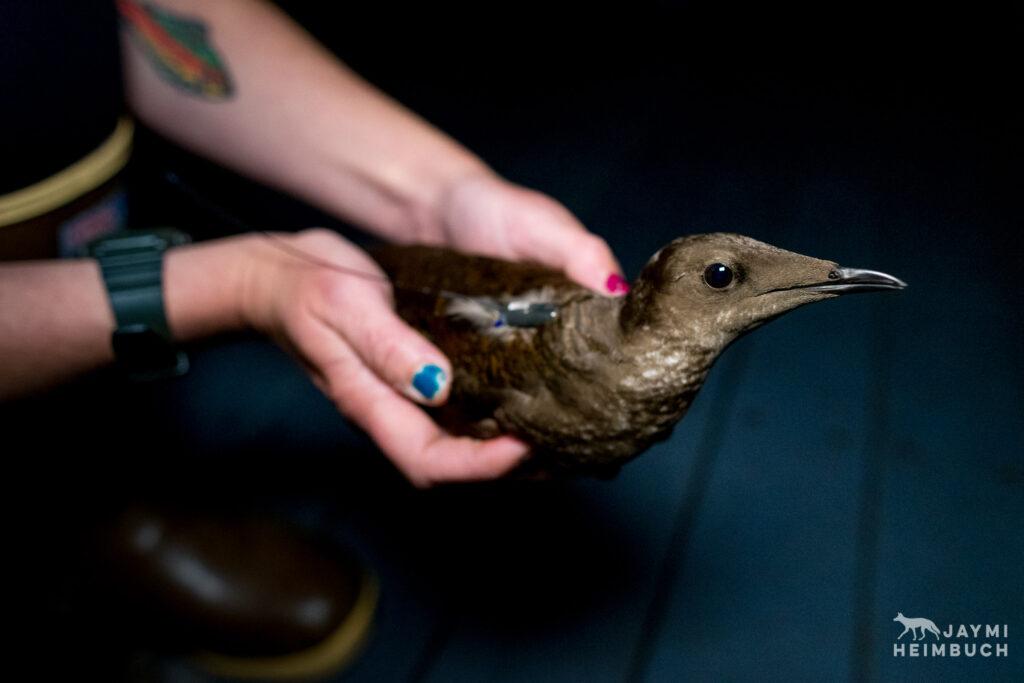 Oregon State University research team banding endangered marbled murrelet birds at night on the ocean, Newport, Oregon.