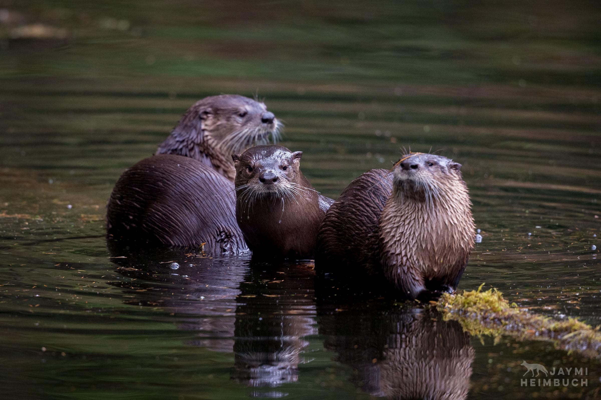 North american river otter, oregon