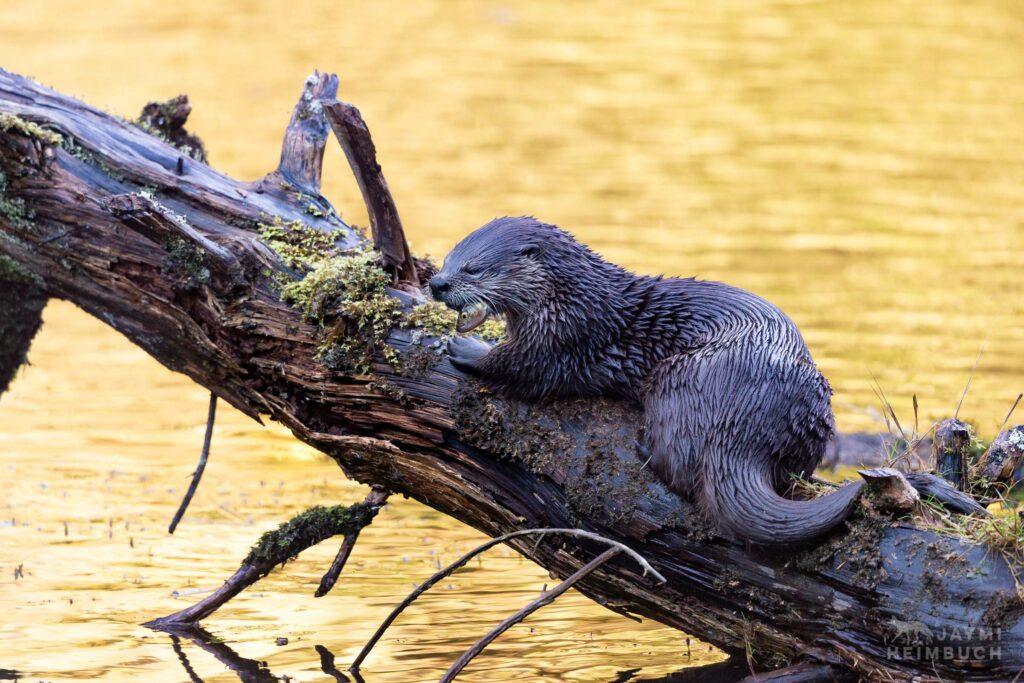 North American river otter, Newport Oregon